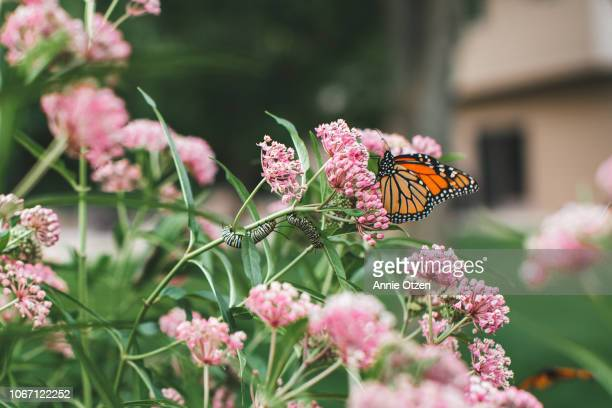 butterfly sitting on milkweed - milkweed stock pictures, royalty-free photos & images