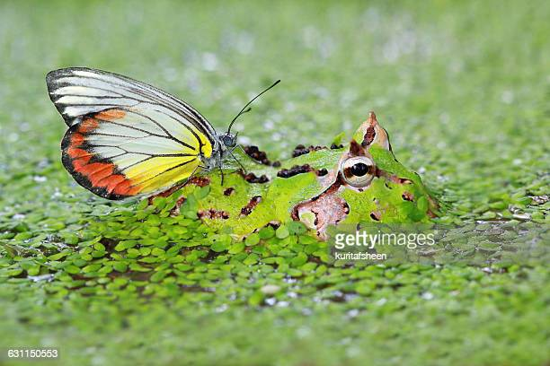 Butterfly sitting on pacman frog in swamp, Indonesia