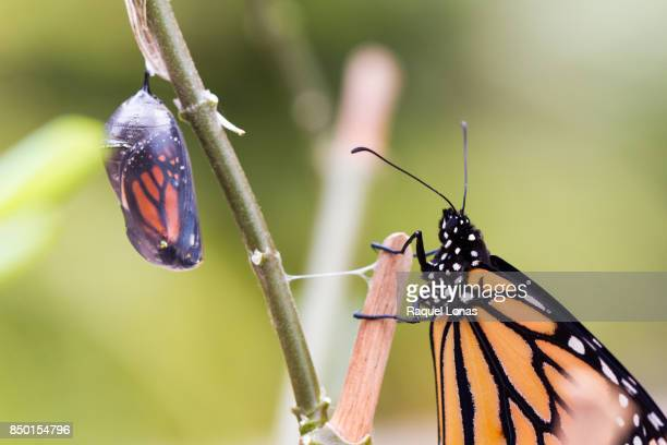 butterfly waits for another to emerge from its chrysalis - form ändern stock-fotos und bilder