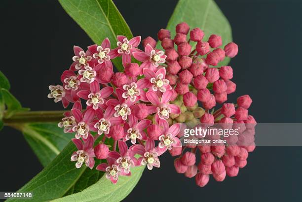 Butterfly weed Asclepia tuberosa Medicinal plant