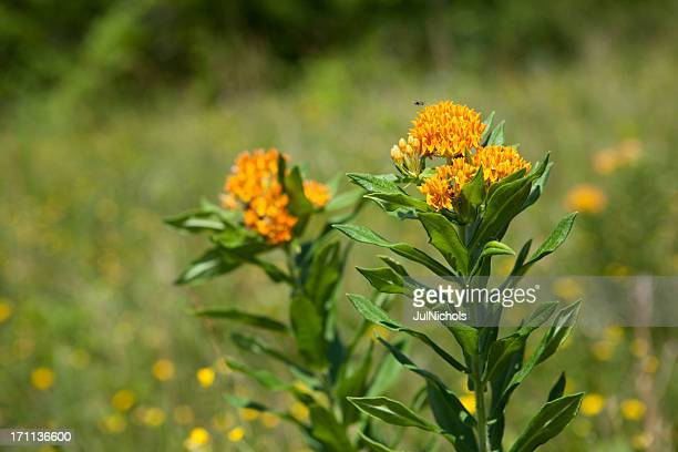 butterfly weed in a summer meadow - milkweed stock pictures, royalty-free photos & images