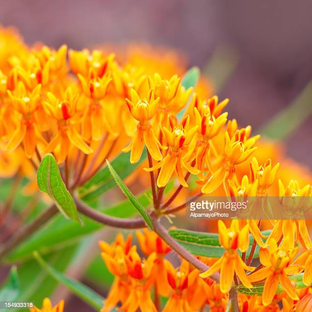 butterfly weed (asclepias tuberosa) - iv - milkweed stock pictures, royalty-free photos & images