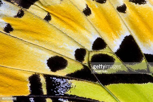 butterfly wing detail graphium antiphates - animal pattern stock pictures, royalty-free photos & images