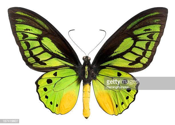 butterfly (lepidoptera) with green, black and yellow wings. clipping path. - vlinder stockfoto's en -beelden