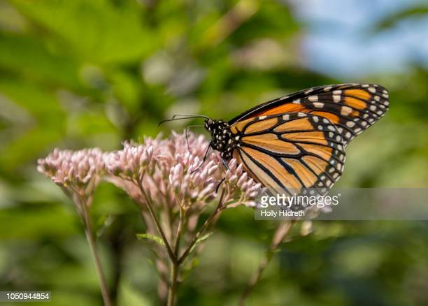 butterfly with milkweed - milkweed stock pictures, royalty-free photos & images