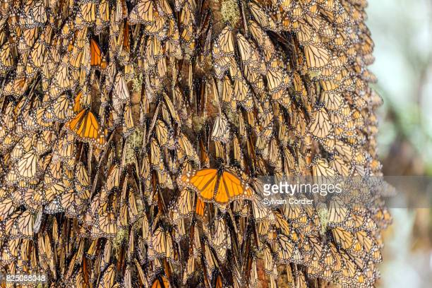 monarch butterfly.danus plexippus - hibernation stock pictures, royalty-free photos & images