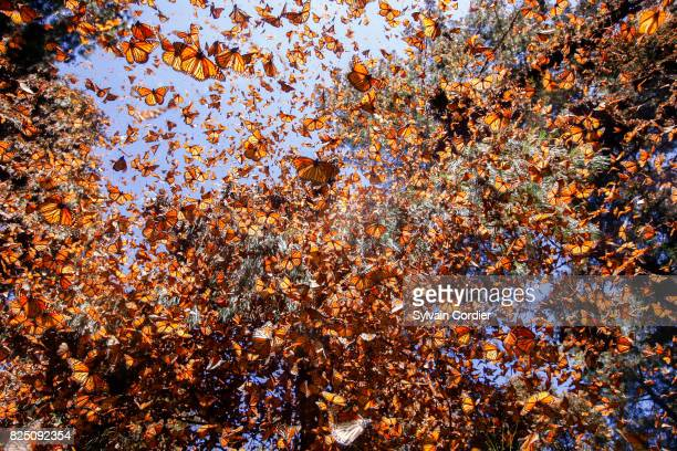 monarch butterfly.danus plexippus - wildlife reserve stock pictures, royalty-free photos & images
