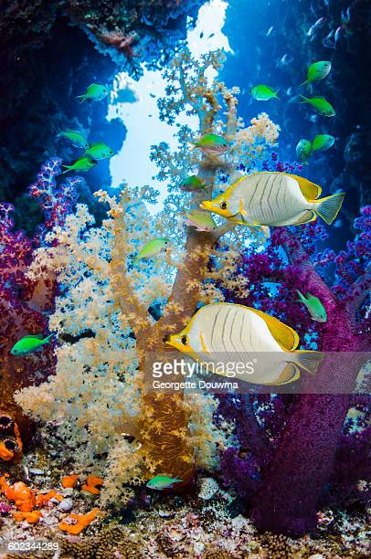 Butterflyfish and soft corals