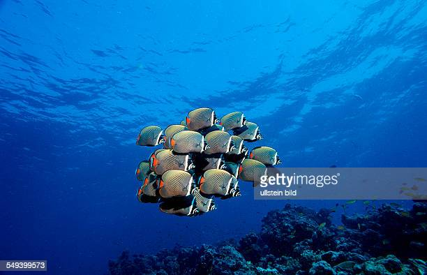 butterflyfish Chaetodon collare Maldives Island Indian Ocean Ari Atol