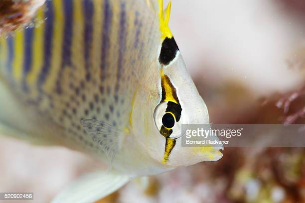 Butterflyfish close-up, Palau, Caroline Islands