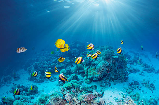 Butterflyfish over coral reef
