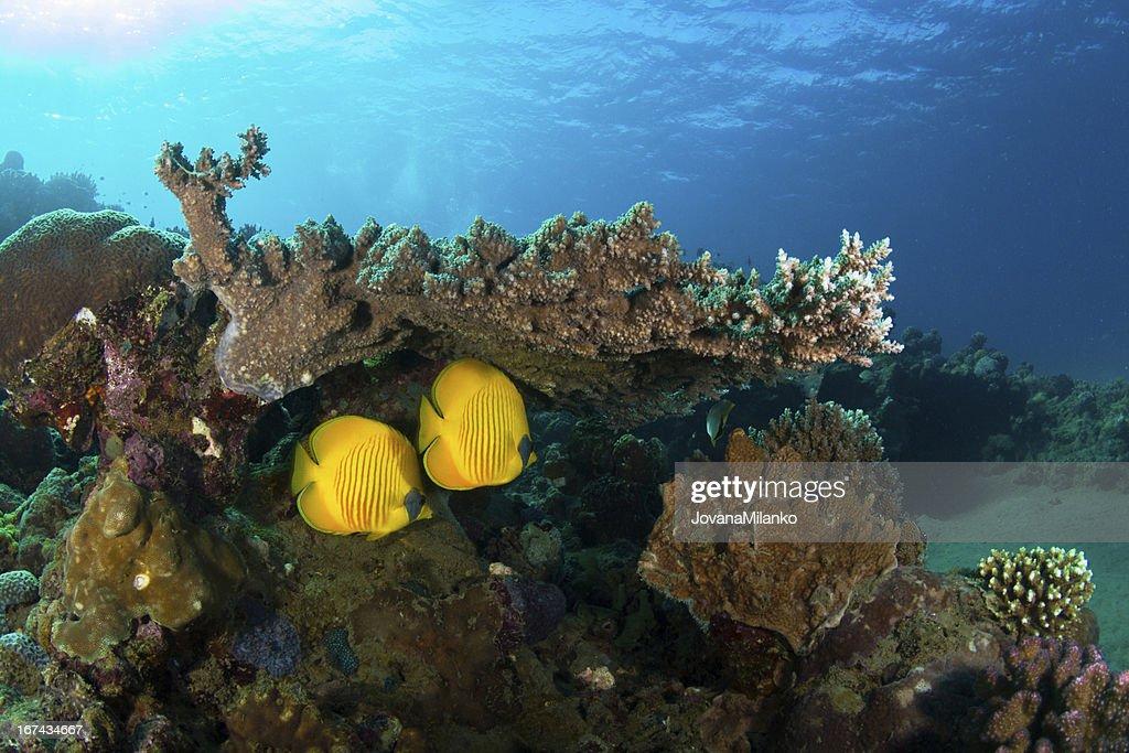 Peixe-borboleta : Foto de stock