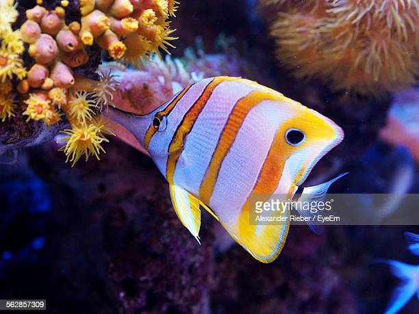 Butterflyfish Swimming By Coral In Sea