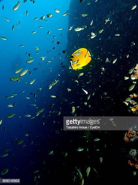 butterflyfish swimming by fish in sea - inoue stock photos and pictures