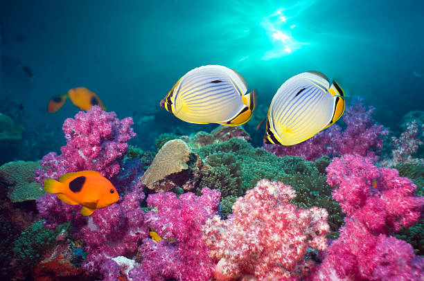 Butterflyfish swimming over coral reef