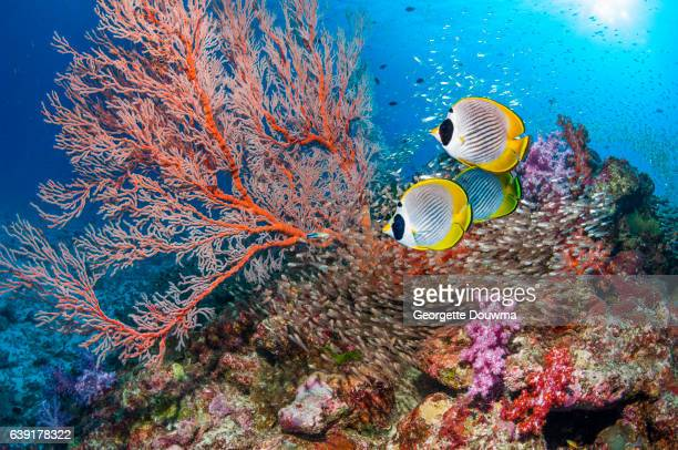 Butterflyfish with Gorgonian on coral reef.