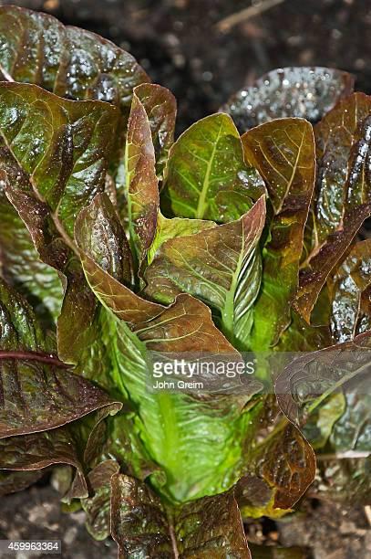 Butterhead lettuce growing in a vegetable garden