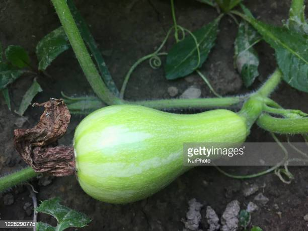 Butternut squash growing at a farm in Toronto, Ontario, Canada, on August 31, 2020.