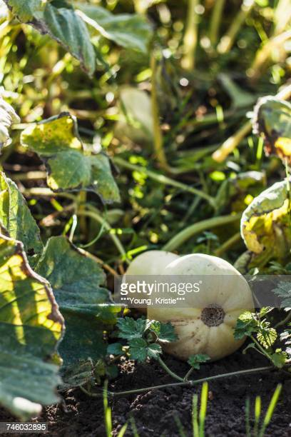 Butternut squash on the plant