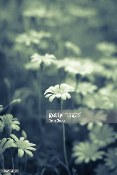 Butterweed - Monochrome