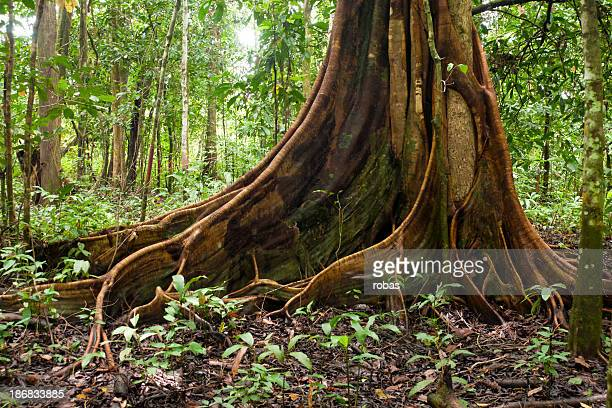 buttress root tree in tropical forest - flying buttress stock photos and pictures
