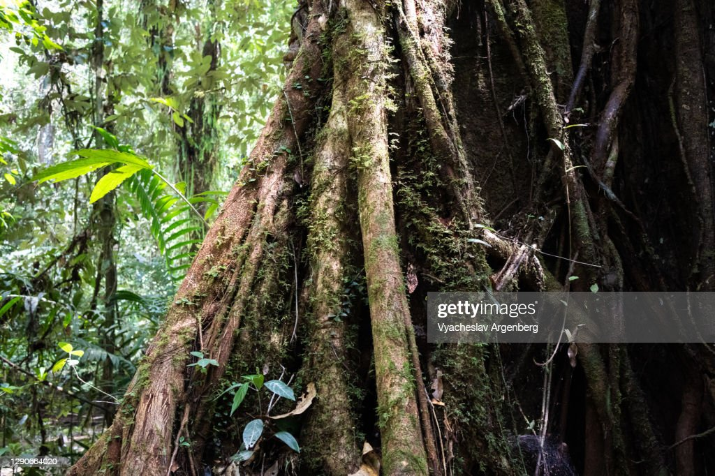 Buttress roots in tropical rainforest, Borneo, Malaysia : Stock Photo