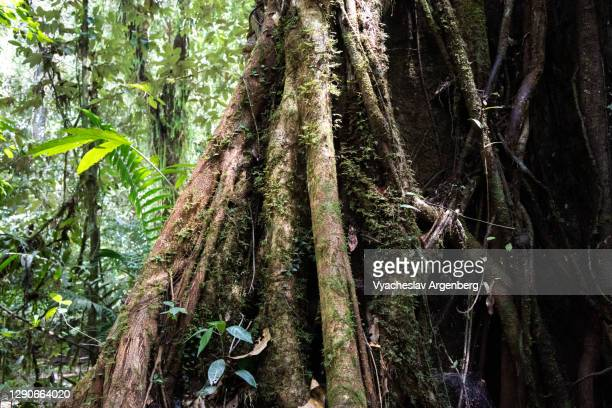 buttress roots in tropical rainforest, borneo, malaysia - dipterocarp tree stock pictures, royalty-free photos & images