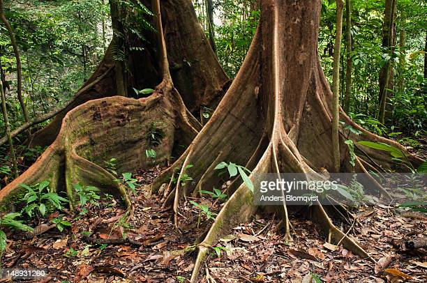 buttress roots of two different dipterocarp trees supporting tall tree trunks in rainforest. - dipterocarp tree stock pictures, royalty-free photos & images