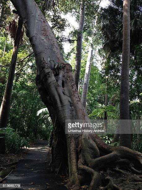 Buttress roots on a tropical tree in the Botanical gardens melbourne Australia