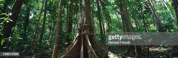 Buttressed roots of rainforest tree.
