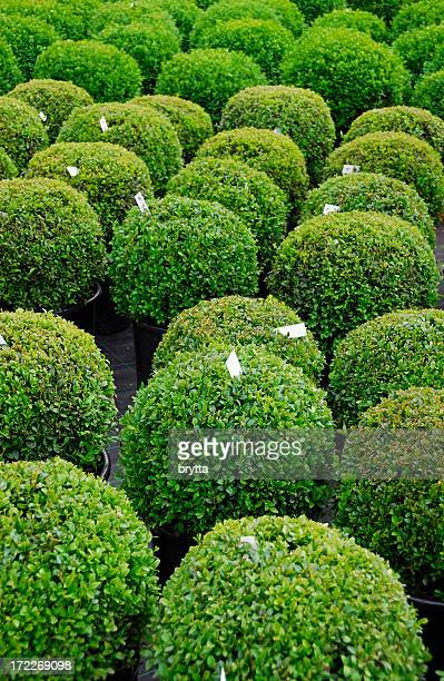 Buxus balls plants for sale in the garden center
