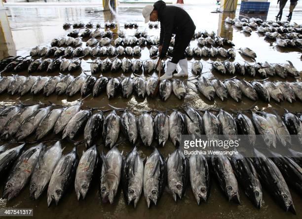 A buyer inspects the fresh Bluefin tuna at Kiikatuura fresh tuna market on February 7 2014 in Nachikatsuura Japan Kiikatsuura fresh tuna market is...