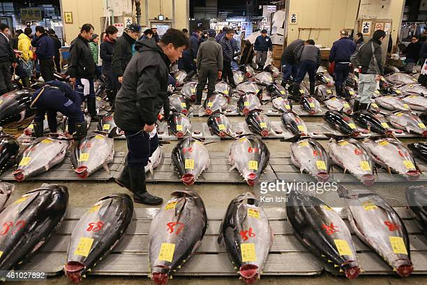 Buyers inspect fresh bluefin tuna prior to the this year's first auction at Tsukiji Market on January 5 2015 in Tokyo Japan A fresh whole tuna...