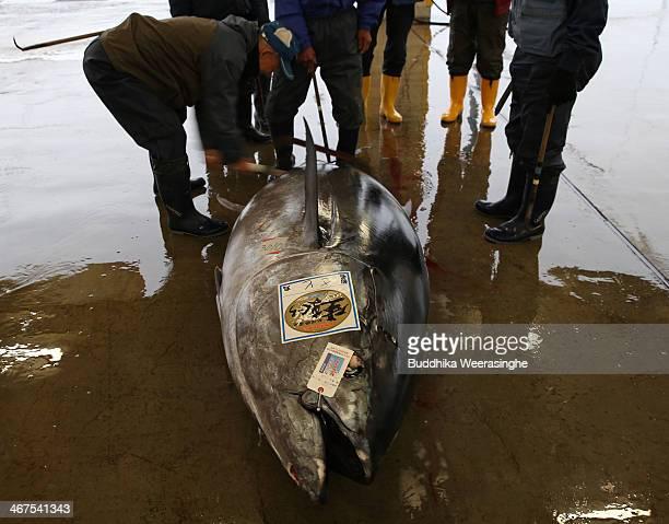 Buyers inspect the 301 kilograms weight fresh Bluefin tuna at Kiikatuura fresh tuna market on February 7 2014 in Nachikatsuura Japan Kiikatsuura...