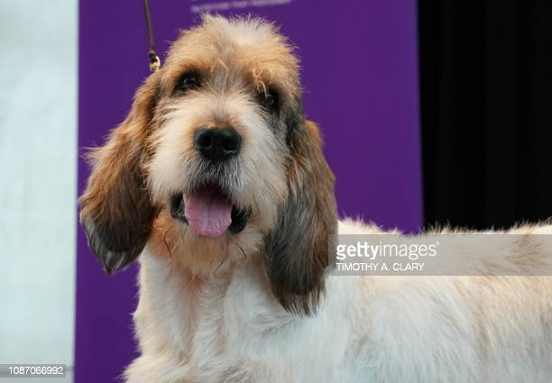 Buzz Lightyear a Grand Bassett Griffon Vendeen poses for photos on the Top of the Rock Observation Deck January 23 2019 in New York The 143rd Annual...