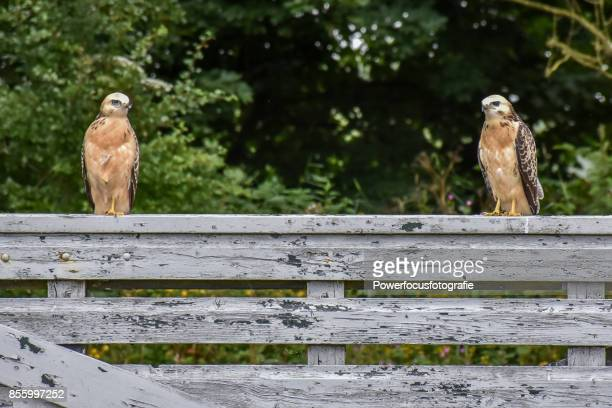 buzzards - two animals stock pictures, royalty-free photos & images
