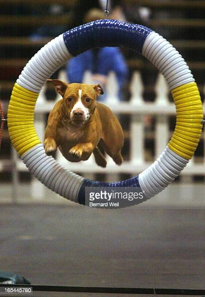 BW01_Royal_110703--Angel, an American Staffordshire Terrier, flies through a hoop during the All Breed Agility Trials at the Royal Agricultural...