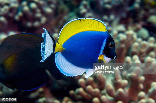 A colourful Powder Blue Surgeonfish swimming above a hard coral tropical reef.