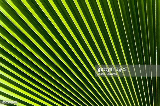 A palm frond opening like a fan to catch the morning sun.