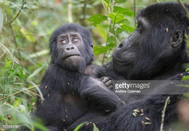 'An infant mountain gorilla, gorilla beringei beringei, clinging to its mother.'