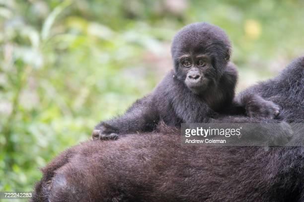 'Young Mountain Gorilla, gorilla beringei beringei, on mothers back.'