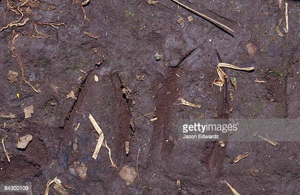 Forest Duiker, Ephalophus grimmia foot prints in forest mud.