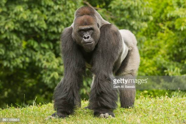 bx7a5636.jpg - gorilla stock pictures, royalty-free photos & images