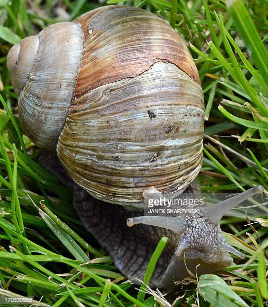 STORY by ANNA MARIA JAKUBEK A snail is pictured at the Snail Garden farm in Krasin northern Poland on May 29 2013 At a snail farm in lakerich...