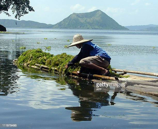 STORY PHILIPPINESLIFESTYLETOURISMVOLCANOFEATURE by Cecil Morella Photo taken A farmer harvests seaweed along the Taal lake while the Taal volcano is...