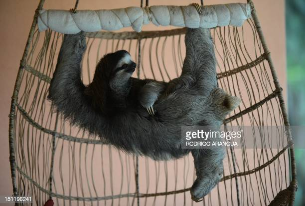 STORY by Isabel Sanchez A brownthroated sloth hangs from its claws at the Sloth Sanctuary in Penshurt some 220 km east of San Jose Costa Rica on...
