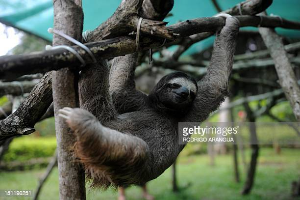 STORY by Isabel Sanchez A brownthroated sloth plays at the Sloth Sanctuary in Penshurt some 220 km east of San Jose Costa Rica on August 30 2012 AFP...