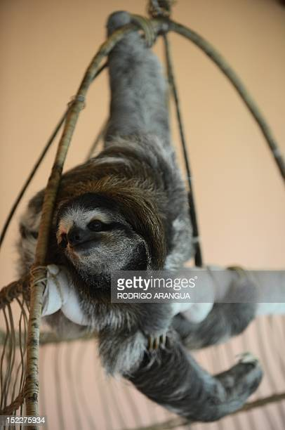 STORY by Isabel Sanchez FILES A brownthroated sloth hangs from its claws at the Sloth Sanctuary in Penshurt some 220 km east of San Jose Costa Rica...