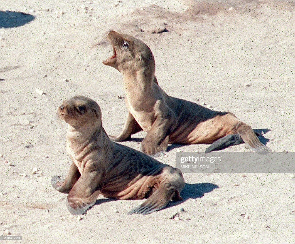 To go with story us seals by karen lowe an emaci pictures getty an emaciated california sea lion pup cries out as it tries publicscrutiny Images