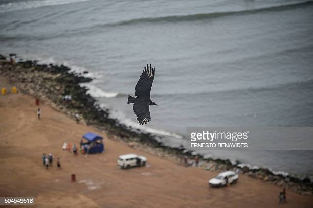 STORY by Luis Jaime Cisneros A blackheaded vulture flies over Lima on January 9 2016 Equipped with GPS and cameras the vultures help indicate where...